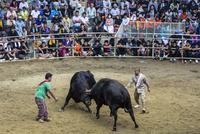 徳之島の闘牛