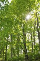 ブナ林と木漏れ日 11070001526| 写真素材・ストックフォト・画像・イラスト素材|アマナイメージズ