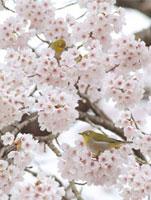 メジロと桜の花 11070001535| 写真素材・ストックフォト・画像・イラスト素材|アマナイメージズ