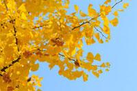 イチョウの黄葉 11070001683| 写真素材・ストックフォト・画像・イラスト素材|アマナイメージズ