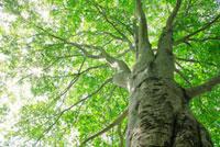 新緑のブナの大木 11070002568| 写真素材・ストックフォト・画像・イラスト素材|アマナイメージズ