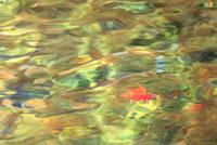 水面のモミジ
