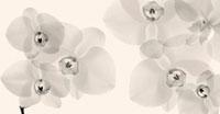 フラワーレントゲン写真 コチョウラン 11070003257| 写真素材・ストックフォト・画像・イラスト素材|アマナイメージズ