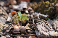 クヌギの新芽 11070003520| 写真素材・ストックフォト・画像・イラスト素材|アマナイメージズ