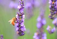 ミツバチとラベンダー