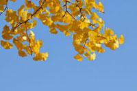 イチョウと青空 11070005275| 写真素材・ストックフォト・画像・イラスト素材|アマナイメージズ