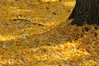 イチョウの落ち葉 11070005276| 写真素材・ストックフォト・画像・イラスト素材|アマナイメージズ