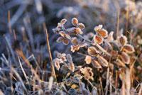 霜 11070005579| 写真素材・ストックフォト・画像・イラスト素材|アマナイメージズ