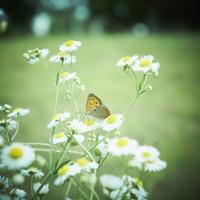 白い花とチョウ