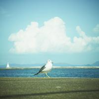 ウミネコ 11070010142| 写真素材・ストックフォト・画像・イラスト素材|アマナイメージズ
