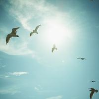 青空を飛ぶウミネコと太陽