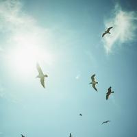 青空を飛ぶウミネコと太陽 11070010152| 写真素材・ストックフォト・画像・イラスト素材|アマナイメージズ