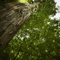 見上げた大木 11070010515| 写真素材・ストックフォト・画像・イラスト素材|アマナイメージズ