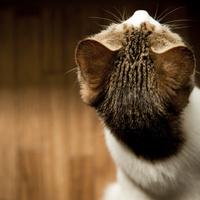 ネコの頭部