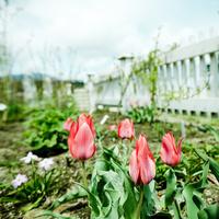 チューリップが咲く庭