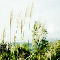 ススキ 11070010710| 写真素材・ストックフォト・画像・イラスト素材|アマナイメージズ