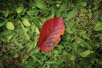 1枚の落ち葉 11070012527| 写真素材・ストックフォト・画像・イラスト素材|アマナイメージズ