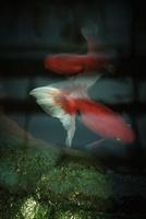 金魚 11070012613| 写真素材・ストックフォト・画像・イラスト素材|アマナイメージズ