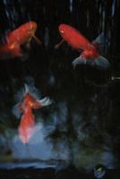 金魚 11070012615| 写真素材・ストックフォト・画像・イラスト素材|アマナイメージズ