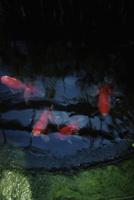 金魚 11070012616| 写真素材・ストックフォト・画像・イラスト素材|アマナイメージズ