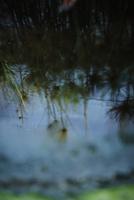 水面に映る草 11070012617| 写真素材・ストックフォト・画像・イラスト素材|アマナイメージズ