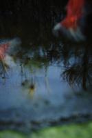 水面に映る草と泳ぐ金魚