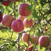 実るリンゴ 11070012658| 写真素材・ストックフォト・画像・イラスト素材|アマナイメージズ