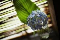 花瓶に活けたアジサイ 11070014338| 写真素材・ストックフォト・画像・イラスト素材|アマナイメージズ