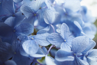 紫陽花の花 11070014834| 写真素材・ストックフォト・画像・イラスト素材|アマナイメージズ