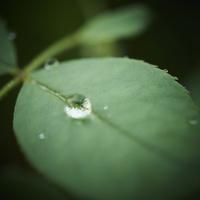 バラの葉と水滴