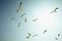 青空を飛ぶウミネコ