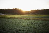キャベツ畑と夕日