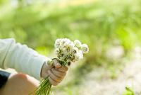 シロツメクサの花を持つ子供の手