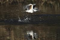 飛び立つヤマセミ 11070016762| 写真素材・ストックフォト・画像・イラスト素材|アマナイメージズ