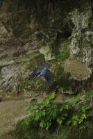 飛ぶヤマセミ 11070016853| 写真素材・ストックフォト・画像・イラスト素材|アマナイメージズ