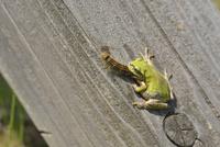カエルの捕食