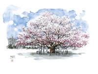 仙台城下町百景 東六番丁小のエドヒガン桜