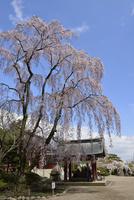 志波彦神社のシダレザクラ