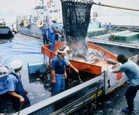 塩釜の漁港で水揚げをする漁師