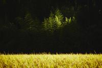 陽光に照らされる木と稲田