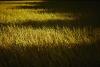 稲田に落ちる影