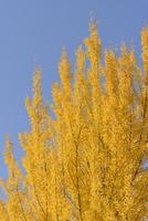 黄葉するイチョウと青空