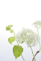 白いアジサイ 11070032215  写真素材・ストックフォト・画像・イラスト素材 アマナイメージズ