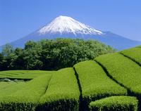 富士宮市山本の茶畑と富士山
