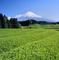 富士市大渕の茶畑と富士山 11076000062| 写真素材・ストックフォト・画像・イラスト素材|アマナイメージズ