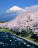 富士市龍巌渕のサクラと富士山