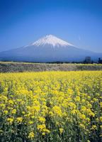 富士宮市白糸のナノハナと富士山