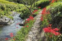 明日香村 彼岸花と飛鳥川