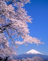 富士宮市上柚野のサクラと富士山 11076000101| 写真素材・ストックフォト・画像・イラスト素材|アマナイメージズ