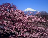 富士市岩本山公園のウメの花と富士山